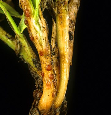 Speckled snow mould or snow rot (Typhula incarnata) sclerotia on barley seedling  -  Nigel Cattlin/ FLPA