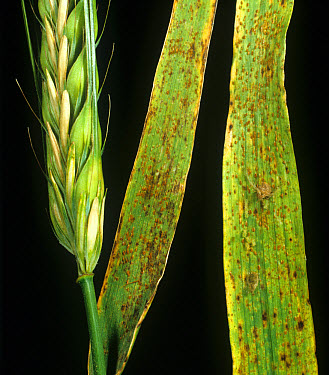 Brown rust (Puccinia hordei) infection on barley flag leaves  -  Nigel Cattlin/ FLPA
