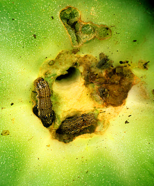 Tomato fruitworm (Helicoverpa armigera) in damaged tomato fruit, Portugal  -  Nigel Cattlin/ FLPA
