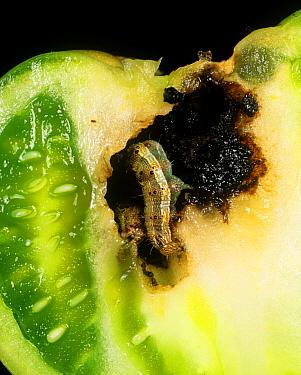 Tomato fruiteorm (Helicoverpa armigera) in damaged tomato fruit, Portugal  -  Nigel Cattlin/ FLPA