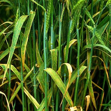 Brown rust (Puccinia hordei) infection on barley crop in ear  -  Nigel Cattlin/ FLPA