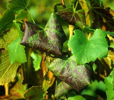 Grape leaf roll virus symptoms on Pinot Noir grape leaves  -  Nigel Cattlin/ FLPA