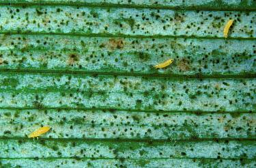 Gladiolus thrips (Thrips simplex) nymphs on damaged Gladiolus leaf  -  Nigel Cattlin/ FLPA