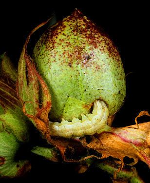 Cotton bollworm (Helicoverpa zea) feeding on green unripe cotton boll, Florida  -  Nigel Cattlin/ FLPA