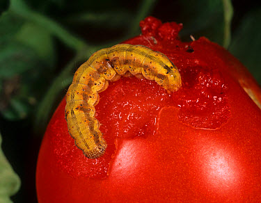 Tomato fruitworm (Helicoverpa armigera) caterpillar coloured orange from feeding on a tomato fruit  -  Nigel Cattlin/ FLPA