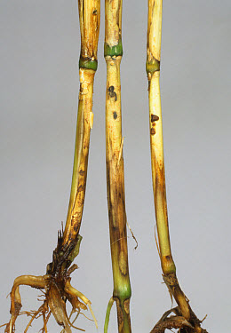 Sharp eyespot (,Rhizoctonia cerealis) lesions on wheat stem bases  -  Nigel Cattlin/ FLPA