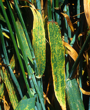 Brown rust (Puccinia hordei) infection in barley crop  -  Nigel Cattlin/ FLPA