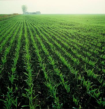 Blackgrass (Alopecurus myosuroides) seedling arable grass weeds emerging in a young barley crop  -  Nigel Cattlin/ FLPA