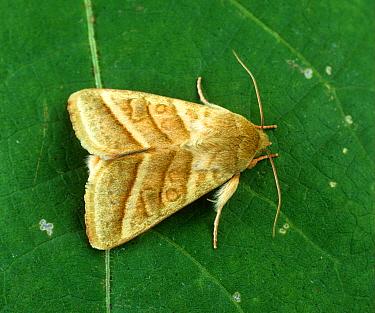 Tobacco budworm (Helicoverpa virescens) adult moth on a cotton leaf  -  Nigel Cattlin/ FLPA