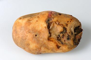 Bacterial soft rot (Erwinia carotovora) forming on diseased potato tuber  -  Nigel Cattlin/ FLPA