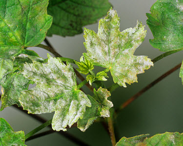 Powdery mildew (Erysiphe plantani) on young sycamore leaves  -  Nigel Cattlin/ FLPA