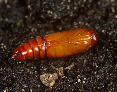 American bollworm (Helicoverpa armigera) pupa on soil  -  Nigel Cattlin/ FLPA