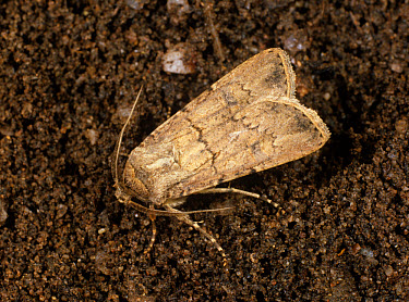 Turnip cutworm (Agrotis segetum) moth on the soil surface  -  Nigel Cattlin/ FLPA