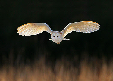 Barn Owl (Tyto alba) adult, in flight, hunting over meadow, Leicestershire, England, february  -  Martin Withers/ FLPA