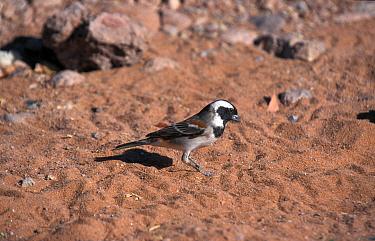 Cape Sparrow (Passer melanurus) Male, Namibia  -  David Hosking/ FLPA