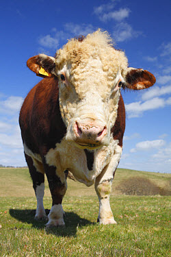 Domestic Cattle, Hereford bull, standing in hill pasture on organic farm, Powys, Wales, april  -  Richard Becker/ FLPA