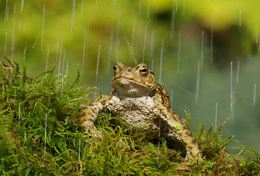 Common Toad (Bufo bufo) adult, sitting on moss in rain shower, England, july  -  Martin Withers/ FLPA