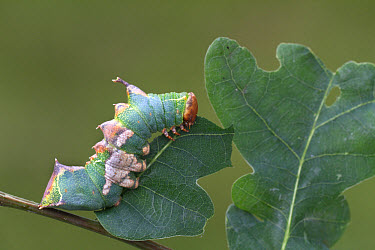 Tawny Prominent (Harpyia milhauseri) caterpillar, feeding on oak leaf, Sicily, Italy, june  -  Martin Withers/ FLPA