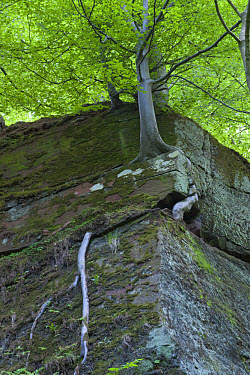 Common Beech (Fagus sylvatica) exposed roots, growing on St. Bees sandstone cliff, Dufton Ghyll Wood, Eden Valley, Cumbria, England, may  -  Krystyna Szulecka/ FLPA