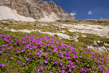 Least Primrose (Primula minima) flowering, mass growing in mountain habitat, Dolomites, Italy, june  -  Bob Gibbons/ FLPA
