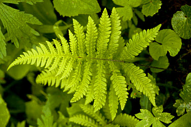 Beech Fern (Phegopteris connectilis) close-up of frond, in shady woodland, Swiss Alps, Switzerland, june  -  Bob Gibbons/ FLPA