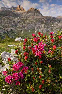 Hairy Alpenrose (Rhododendron hirsutum) flowering, growing in mountain habitat, Tre Cime de Lavaredo, Dolomites, Italy, june  -  Bob Gibbons/ FLPA