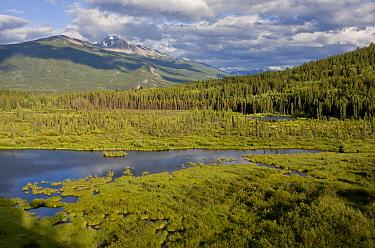 View of lake and bog habitat, Cottonwood Slough, Jasper National Park, Rocky Mountains, Alberta, Canada, july  -  Bob Gibbons/ FLPA