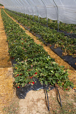 Strawberry bed in poly tunnel, note the black leaky piping used to water the plants  -  David Hosking/ FLPA