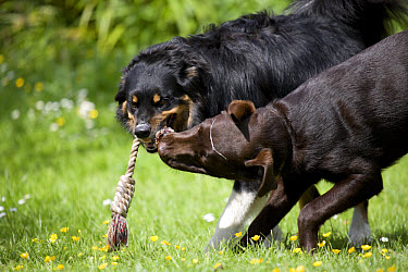 Domestic Dog, Border Collie, adult male, with Chocolate Labrador Retriever, puppy, playing tug-of-war with rope in garden, Portesham, Dorset, England, june  -  Chris Brignell/ FLPA