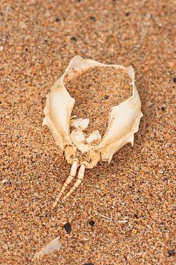 Masked Crab (Corystes cassivelaunus) empty shell, washed up on beach strandline, Braunton Burrows, Devon, England, october  -  Steve Trewhella/ FLPA