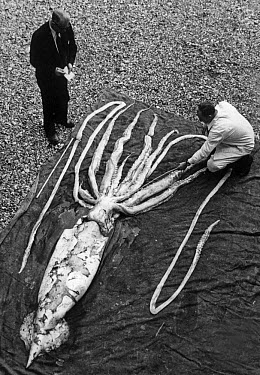 Giant Squid (Architeuthis sp) dead, ft. over-all length, stranded on beach, with biologists measuring tentacles, Ranheim, Norway, (Erling Sivertsen)  -  FLPA/ FLPA