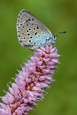 Large Blue (Maculinea arion) adult female, underside, resting on Common Bistort (Polygonum bistorta) flower, Italian Alps, Italy, july  -  Gianpiero Ferrari/ FLPA