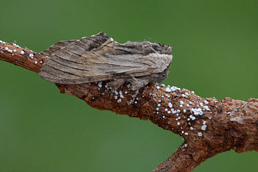 Tawny Prominent (Harpyia milhauseri) adult male, resting on dead twig, Sicily, Italy, april  -  Gianpiero Ferrari/ FLPA