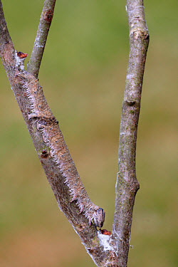 Clifden Nonpareil (Catocala fraxini) caterpillar, camouflaged on European Aspen (Populus tremula) twig, larval foodplant, Italy, june  -  Gianpiero Ferrari/ FLPA