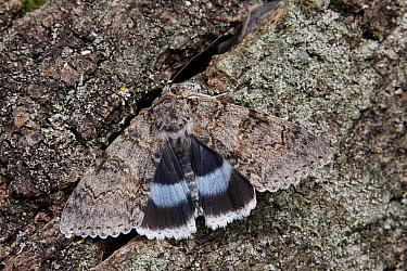 Clifden Nonpareil (Catocala fraxini) adult, exposing hindwings, resting on Common Oak (Quercus robur) bark, Italy, august  -  Gianpiero Ferrari/ FLPA