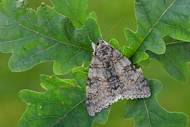 Clifden Nonpareil (Catocala fraxini) adult, resting on Common Oak (Quercus robur) leaves, Italy, august  -  Gianpiero Ferrari/ FLPA