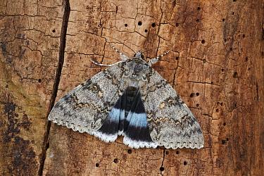 Clifden Nonpareil (Catocala fraxini) adult, exposing hindwings, resting on log, Italy, august  -  Gianpiero Ferrari/ FLPA