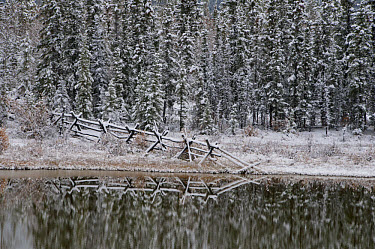 Snow covered fence and spruce trees reflected in pond, along Alaska Highway, near Whitehorse, Yukon, Canada, september  -  Mark Newman/ FLPA