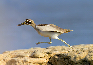 Great Thick-knee (Esacus recurvirostris) adult, running, Chambal River, Rajasthan, India, january  -  Harri Taavetti/ FLPA