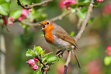 European Robin (Erithacus rubecula) adult, singing, perched on apple twig with blossom, West Sussex, England, april  -  Roger Wilmshurst/ FLPA