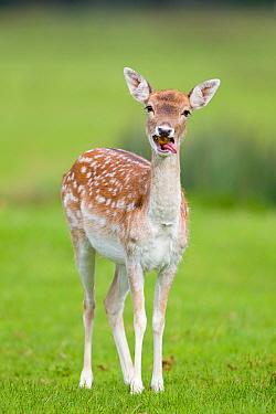 Fallow Deer (Dama dama) doe, feeding on windfall apple, Suffolk, England, october  -  Paul Sawer/ FLPA