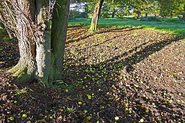 Wild Crabapple (Malus sylvestris) trunk and fallen fruit, growing at edge of unimproved wet grazing meadow, River Dove, Thornham Magna, Suffolk, England, october  -  Marcus Webb/ FLPA