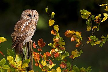 Tawny Owl (Strix aluco) adult, perched on post amongst autumn beech leaves, Peak District, Derbyshire, England, november (captive)  -  Paul Hobson/ FLPA