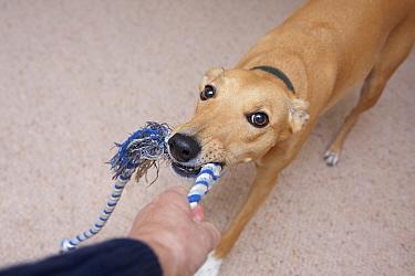 Domestic Dog, Lurcher cross mongrel, adult female, playing tug-of-war with owner, England  -  Angela Hampton/ FLPA