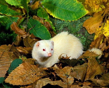 Domestic Ferret (Mustela furo) adult female, albino, standing amongst fallen leaves  -  Gerard Lacz/ FLPA