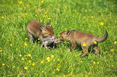 European Red Fox (Vulpes vulpes) two cubs, feeding, squabbling over European Rabbit (Oryctolagus cuniculus) kill, Normandy, France  -  Gerard Lacz/ FLPA