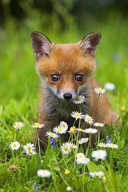 European Red Fox (Vulpes vulpes) young cub, sitting amongst daisy flowers, Normandy, France, spring  -  Gerard Lacz/ FLPA