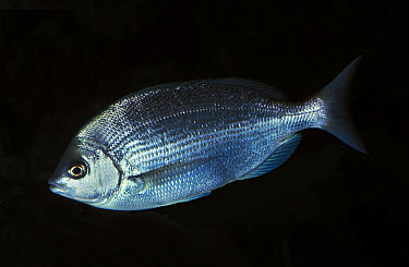 Red Sea Bream (Pagellus bogaraveo) adult, swimming, captive  -  Gerard Lacz/ FLPA