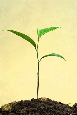 Chempedak (Artocarpus integrifolia) seedling, Trivandrum, Kerala, India  -  Parameswaran Pillai Karunakaran/