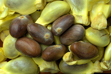 Chempedak (Artocarpus integrifolia) seeds with and without outer husk, Trivandrum, Kerala, India  -  Parameswaran Pillai Karunakaran/